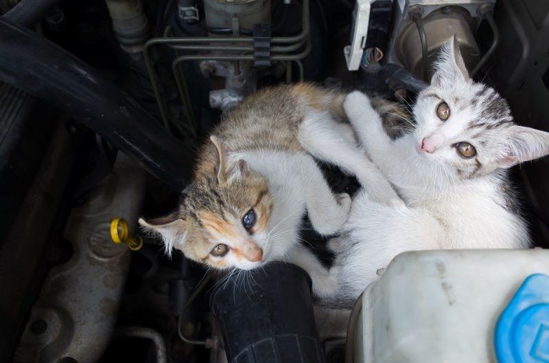 ボンネットに猫
