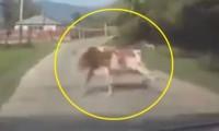 【閲覧注意】車が牛と衝突事故!その後の奇跡に世界が困惑