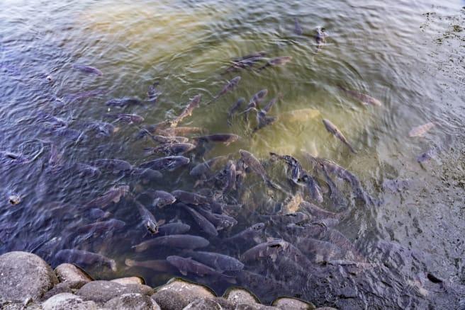 「神池」約3万匹の淡水魚の一部が集結