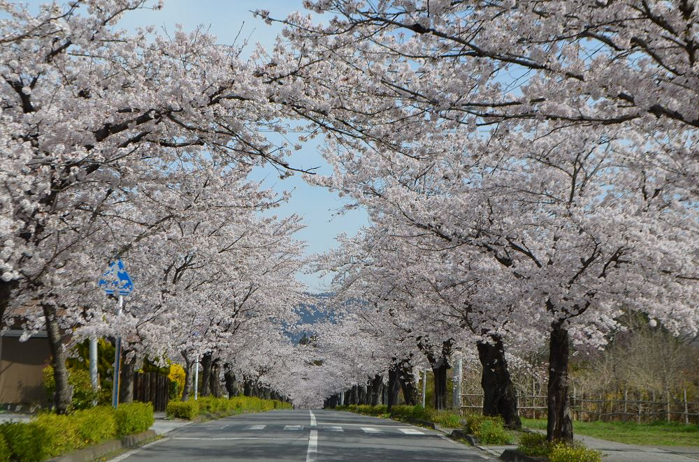長瀞 北桜通り